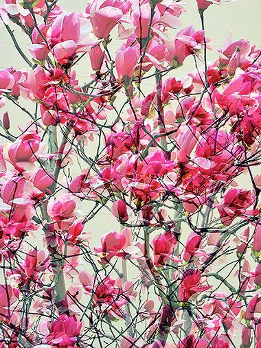 Magnolia-XX