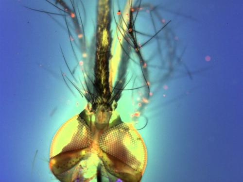 mosquitoProboscis